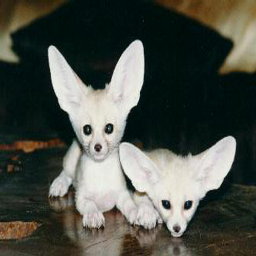 Very Cute Babies Wallpapers For Desktop Cutest Fennec Foxes In The World Xcitefun Net
