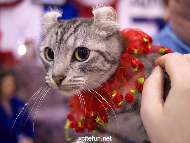 Cute Silly Wallpapers American Curl Cute Curly Cats Xcitefun Net