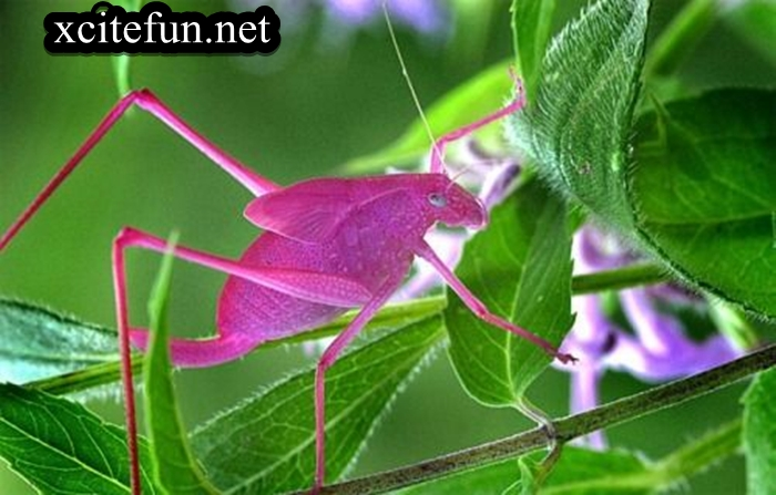 Pink Insect Katydids  XciteFunnet