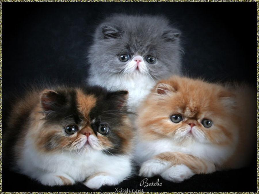 Bollywood Wallpapers With Quotes Beautiful Persian Cats Xcitefun Net