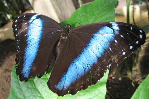 Cute Funny Wallpapers For Mobile Blue Butterflies In Amazon Rainforest Brazil Xcitefun Net