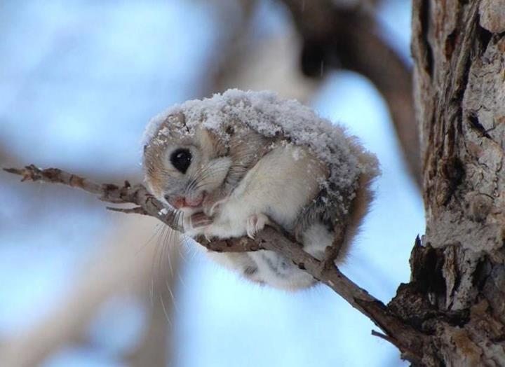 Very Cute Baby Mobile Wallpaper Japanese Dwarf Flying Squirrel So Cute Xcitefun Net