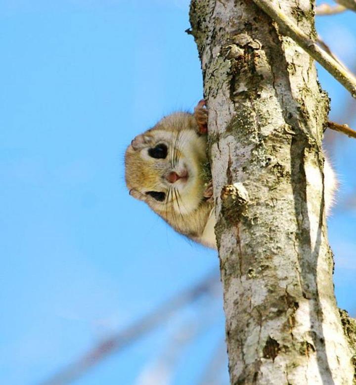 Cute Painting Wallpapers Japanese Dwarf Flying Squirrel So Cute Xcitefun Net
