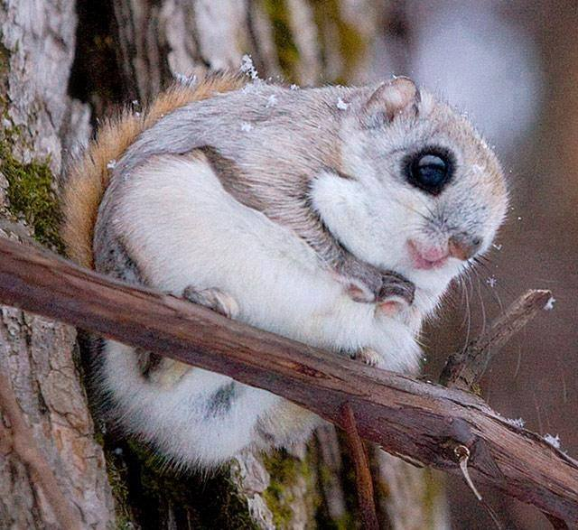 Cool Wallpapers For Mobile With Quotes Japanese Dwarf Flying Squirrel So Cute Xcitefun Net