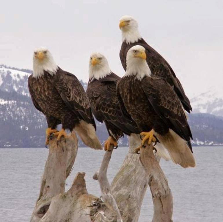 Cute Baby Pics For Mobile Wallpaper Beautiful Groups Of Alaska Eagles Xcitefun Net