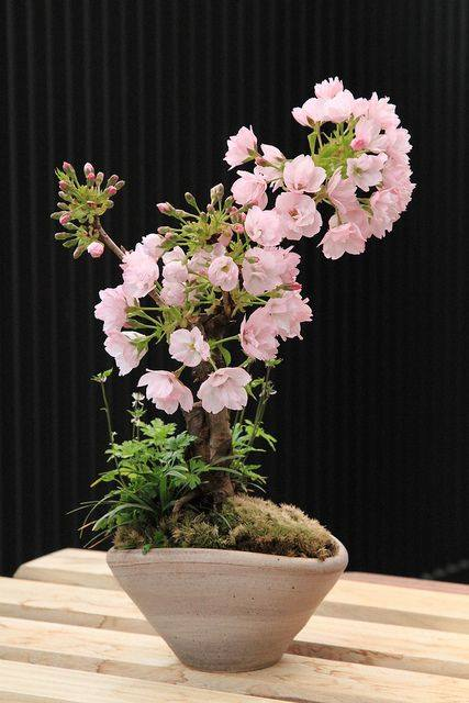 Cute Painting Wallpapers Cherry Blossom Bonsai Care Instructions Xcitefun Net