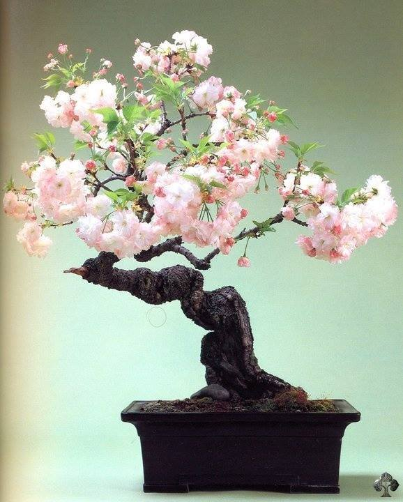 Cute Nature Wallpapers With Quotes Cherry Blossom Bonsai Care Instructions Xcitefun Net