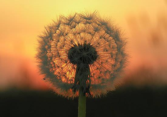 Inspirational Quotes Wallpaper For Android Sunset Through Dandelions Flowers Xcitefun Net