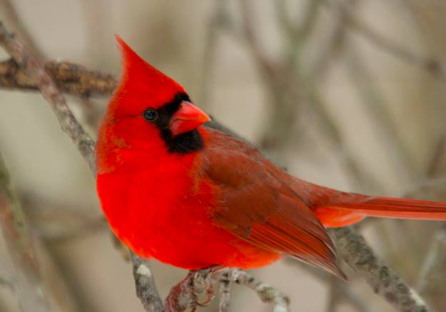 Cute Cool Wallpapers For Mobile Cardinals Beautiful Bird In Red Xcitefun Net