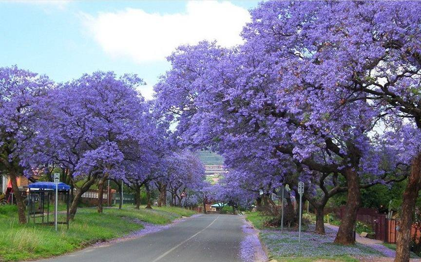 Cool N Cute Wallpapers Beautiful Blue Jacaranda Xcitefun Net
