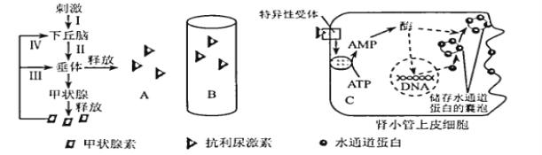 抗利尿激素(ADH)又稱加壓素。如圖表示抗利尿激素促進腎小管細胞重吸收水分的調節機制(字母... - 新題庫