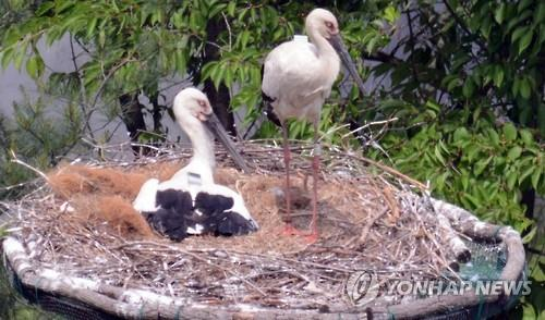 The female stork Minhwang (L) and male stork Manhwang tend to their newly hatched chicks at a stork park in Yesan, a town about 134 kilometers south of Seoul, in this photo provided on May 23, 2016, by the Yesan municipality. (Yonhap)