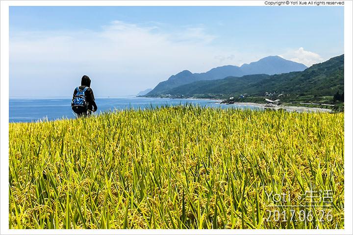[花蓮豐濱] 新社梯田 | 太平洋旁的海稻田, 東海岸上的黃金稻浪