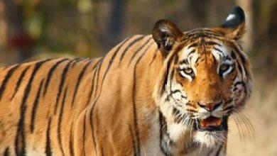رحلة تحول النمر من قطة ضخمة إلى آكل لحوم البشر