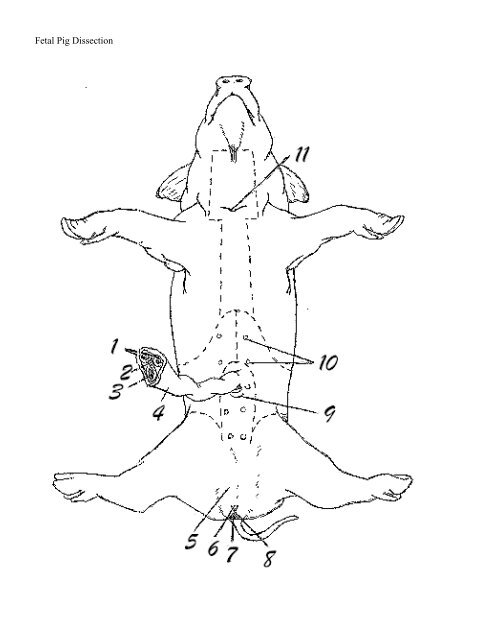 Internal Anatomy Of A Fetal Pig