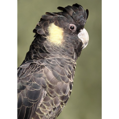 YellowTailed Black Cockatoo Photographic Art Print