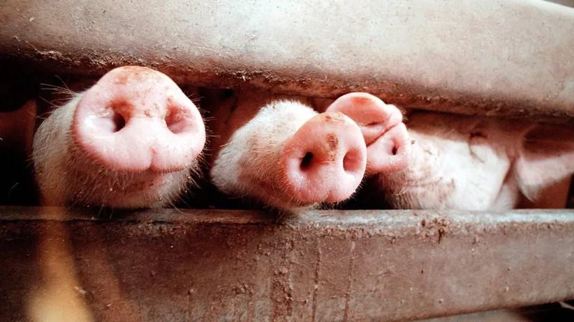 tonnies es wird eng im schweinestall