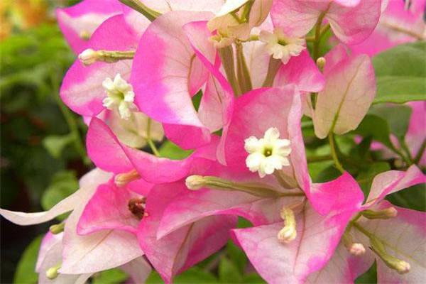 粉色中最好看的三角梅有哪些_植物博士
