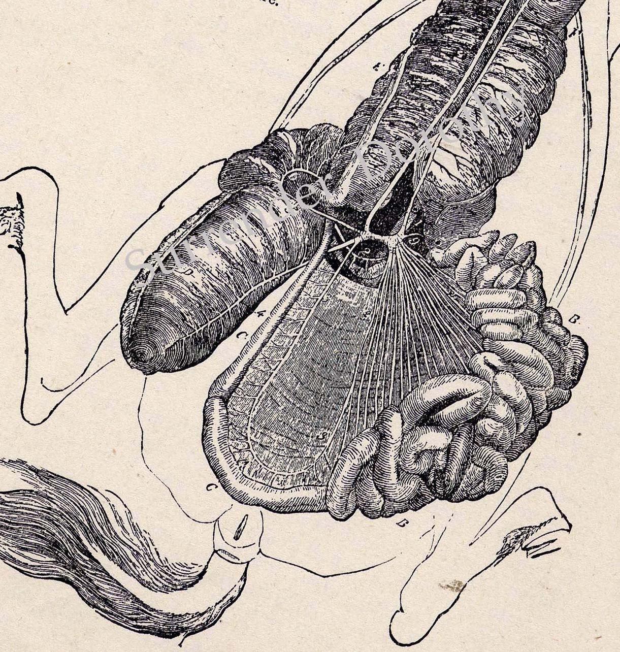 horse gi diagram circuit breaker wiring diagrams hip anatomy posterior view elsavadorla