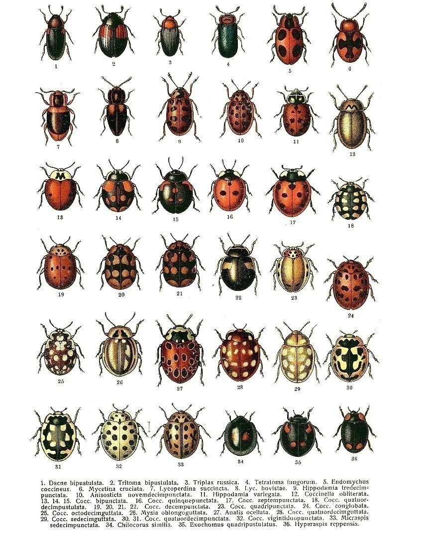 Items similar to Vintage BUGS 36 Different Creepy Crawly Beetles and Bugs with Latin Names