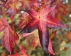 Maple Foliage, 8 x 10 Photo