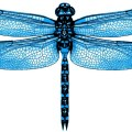3d dragonflies whitsunday blue dragonfly by 3dinsects