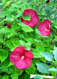 Hardy Hibiscus Organic seeds Dinner plate size flowers