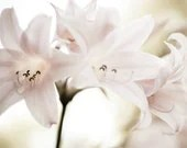 """Flower photography - soft pale pink lily botanical delicate fowers - pale ivory white - fine art photography """"Pink Ladies"""" - LupenGrainne"""