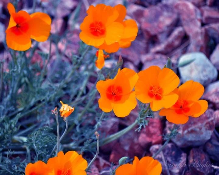8x10 Photography Print. Orange Desert Poppies - NessysNest