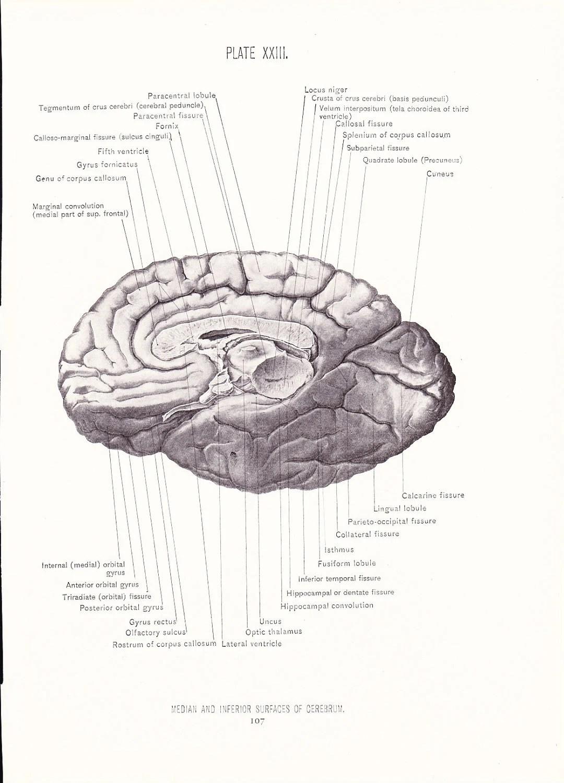 1926 Human Anatomy Print Median Inferior Surfaces Cerebrum