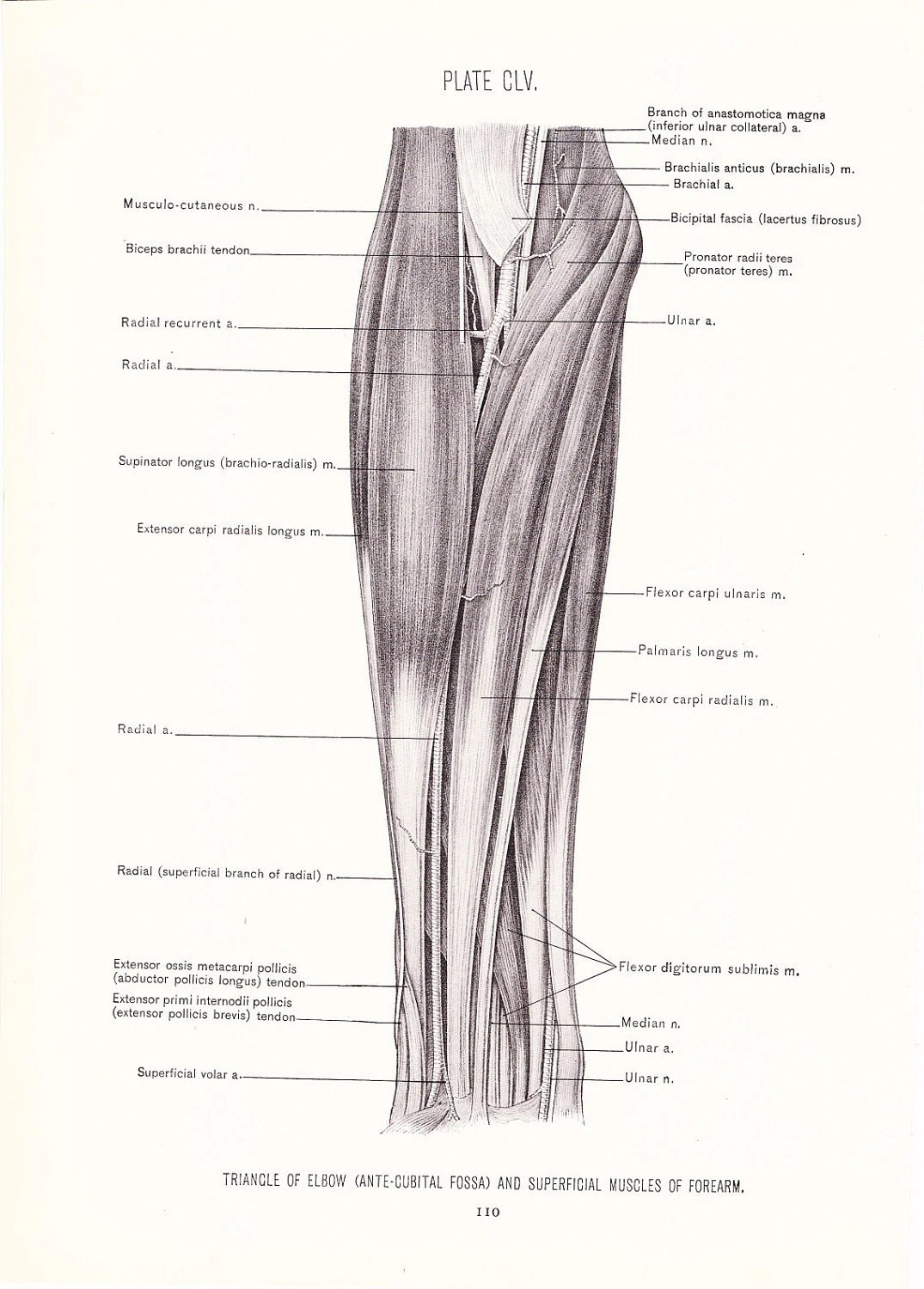 1926 Human Anatomy Print Triangle Elbow Superficial Muscles