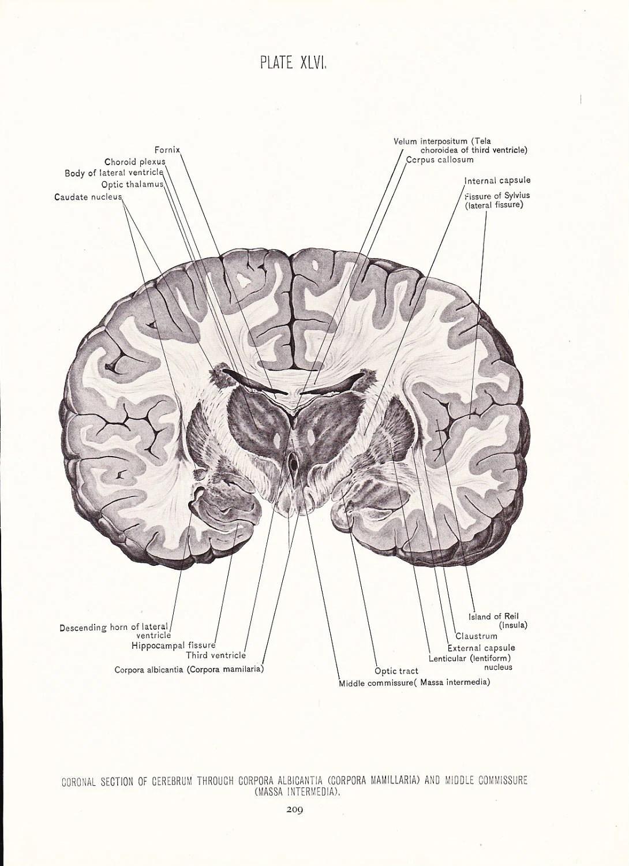 Human Anatomy Print Coronal Section Cerebrum Brain