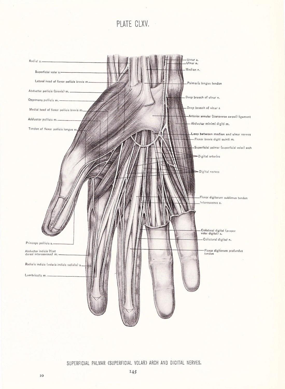 1926 Human Anatomy Print Nerves of Hand Vintage Antique
