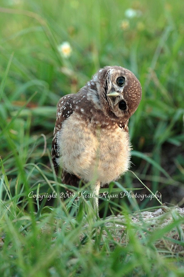 Cute Henna Wallpapers Baby Burrowing Owl 5 X7 Print
