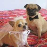 DOG costume Pet BRIDE and GROOM costume As featured in