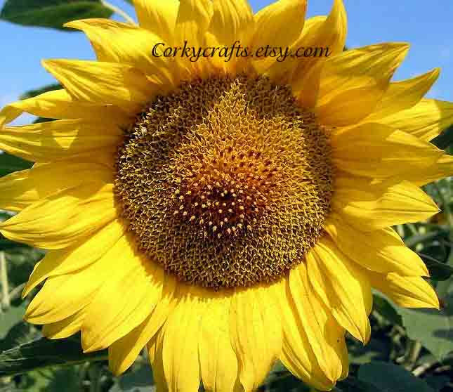 Sunflower seeds   Texas size flowers - Extra large size! - Corkycrafts