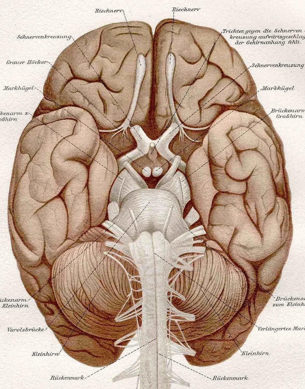 Brain Anatomy Original Antique Medical Print Lithograph