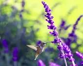 Hummingbird photograph - fresh spring - violet purple lime green - fine art photography print - bright chartreuse bird floral print - Raceytay