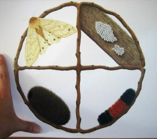 Tiger Moth Caterpillar Life Cycle
