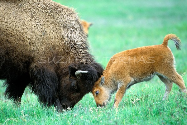 Mom and Baby Animal Photography BABY BISON and MOM Play