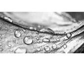 Macro Photo of Raindrops on Petunia Petal Entitled Pools and Streams - 12 X 18 - CarlaDyck
