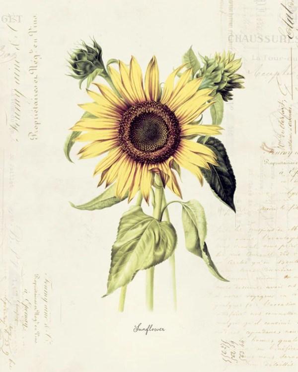 vintage botanical flower sunflower