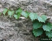 Green Ivy Growing on Granite