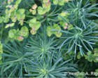 "Green Spiral Plant Euphorbia Cyparissias ""Fens Ruby"" Nature Photograph"