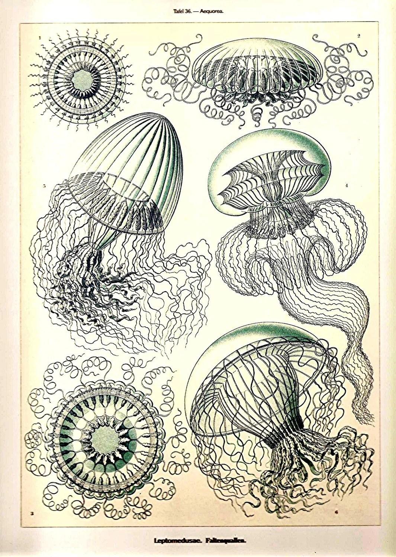 Ernst Haeckel Jellyfish Corals Art Print Original Book