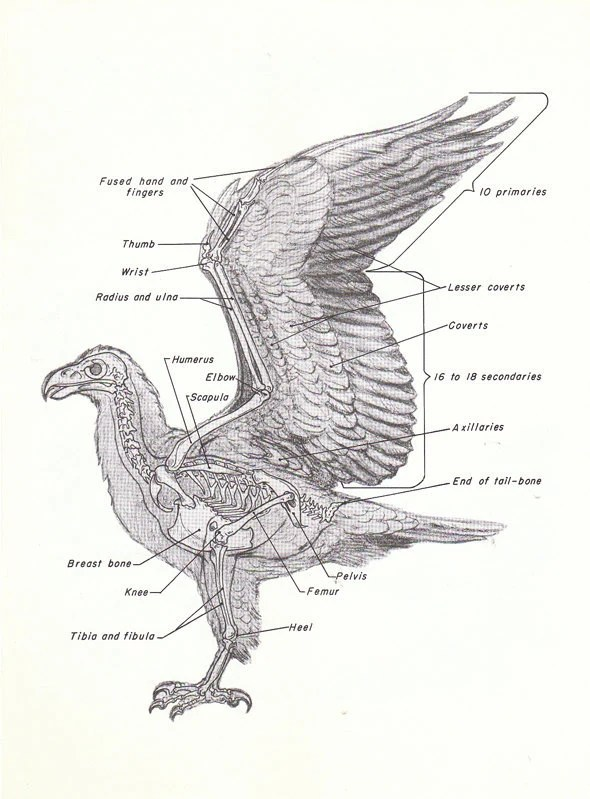 Eagle Wing Anatomy