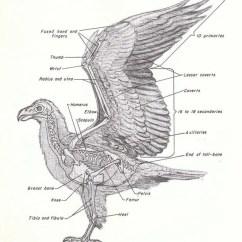 Eagle Anatomy Diagram 98 Honda Accord Alarm Wiring Photo 1