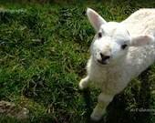 """Original, Lovely Lamb, Irish, Panorama, Photo 6"""" x 12"""", green, white, wool, - ArtGlamourSligo"""