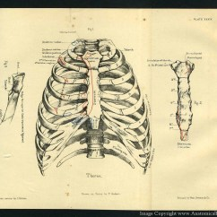 Rib Cage Bone Diagram For Wiring Trailer Lights 1887 Human Anatomy Print Of The And Sternum By