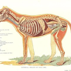 Dog Internal Anatomy Diagram Parts Of A Daisy Flower Veterinary Print 1920s Organs Male